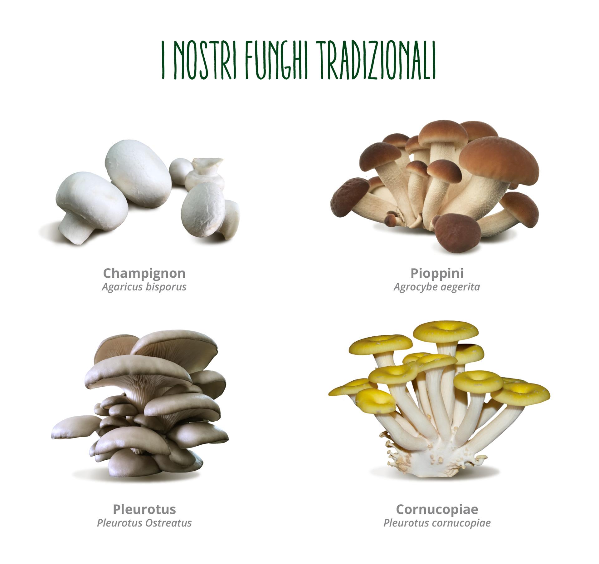 I funghi tradizionali di O.P. Consorzio Funghi di Treviso