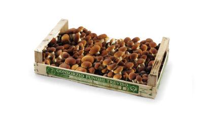 Pioppini Funghi di Treviso Cornucopie settore mercati