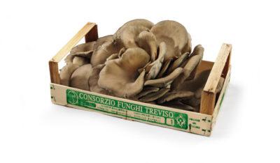 Pioppini Funghi di Treviso Pleurotus settore mercati